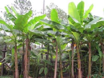 Basjoo Banana Tree Just Fruits And Exotics
