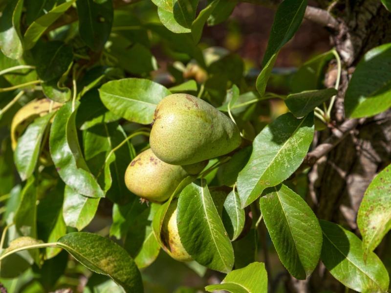 Leconte Soft Pear Tree 3 Gal 4 5 Ft