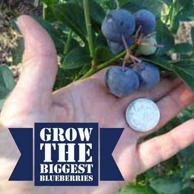 Titan and Krewer Blueberries –Size matters