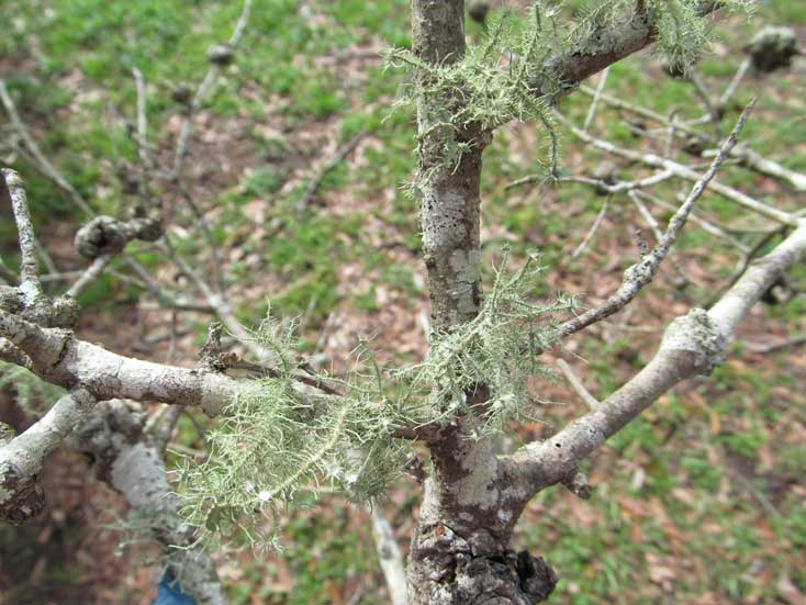 Lichen in the Orchard and Why you Should be Concerned