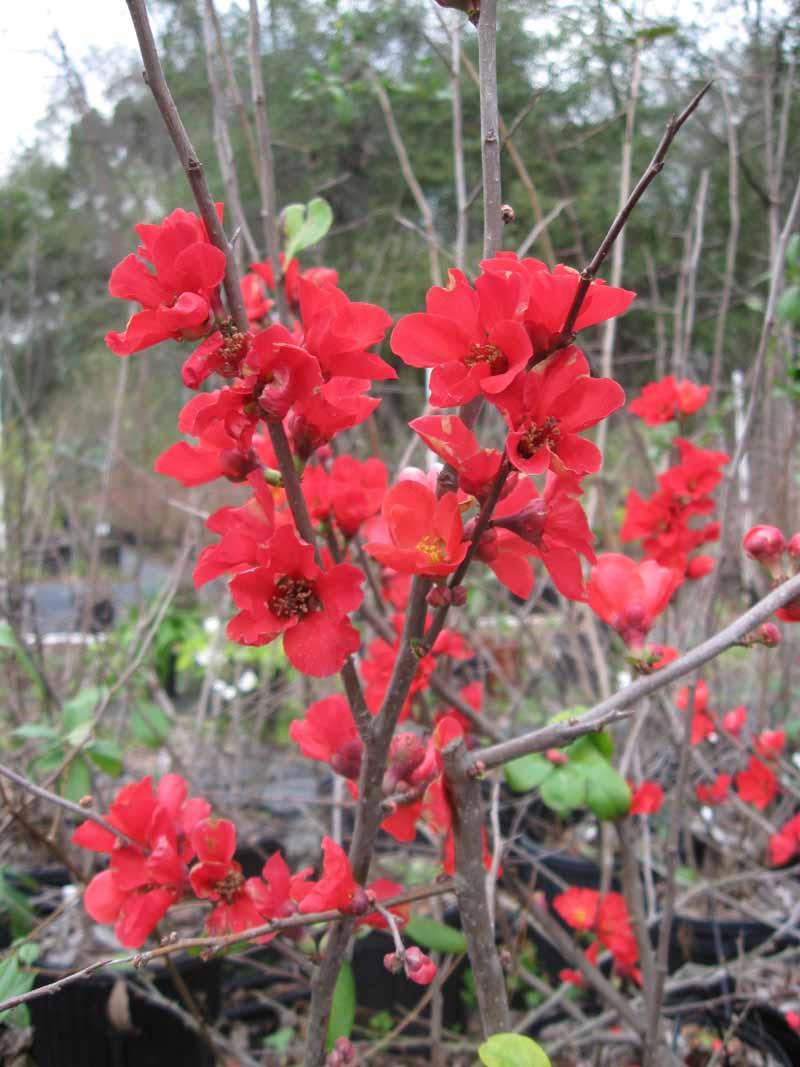 Texas Scarlett Flowering Quince