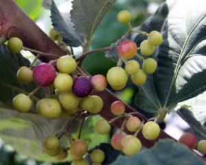 Sherbet Berry Fruit Trees